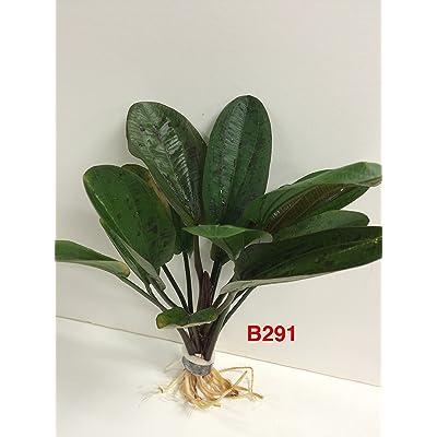 Echinodorus hadi red pearl - Bundle Plant B291 - BUY 2 GET 1 FREE Live Aquatic Plant Online : Garden & Outdoor