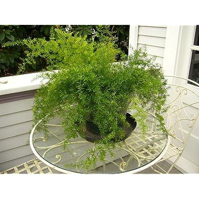 Asparagus Fern Sprengeri Live Plant Foliage Plant Fit 1 QRT Pot : Garden & Outdoor