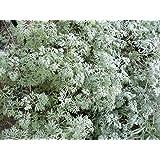 Asklepios-seeds® - 25000 Samen Artemisia absinthium, Wermut Wermutkraut, Beifuß