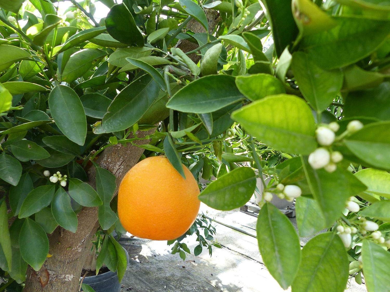 Citrus Sinensis Bonsai Orangenbaum 170-200 cm Zitrus Orange Obstbaum