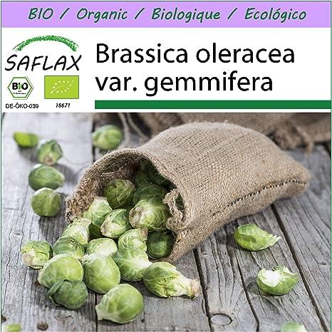 SAFLAX - Ecológico - Coles de Bruselas - Groninger - 30 semillas ...