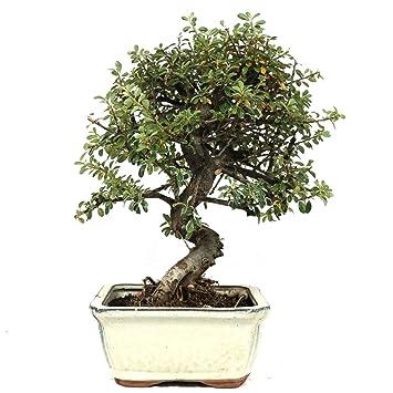 Cotoneaster, bonsái para exterior, 9 años, altura 24 cm
