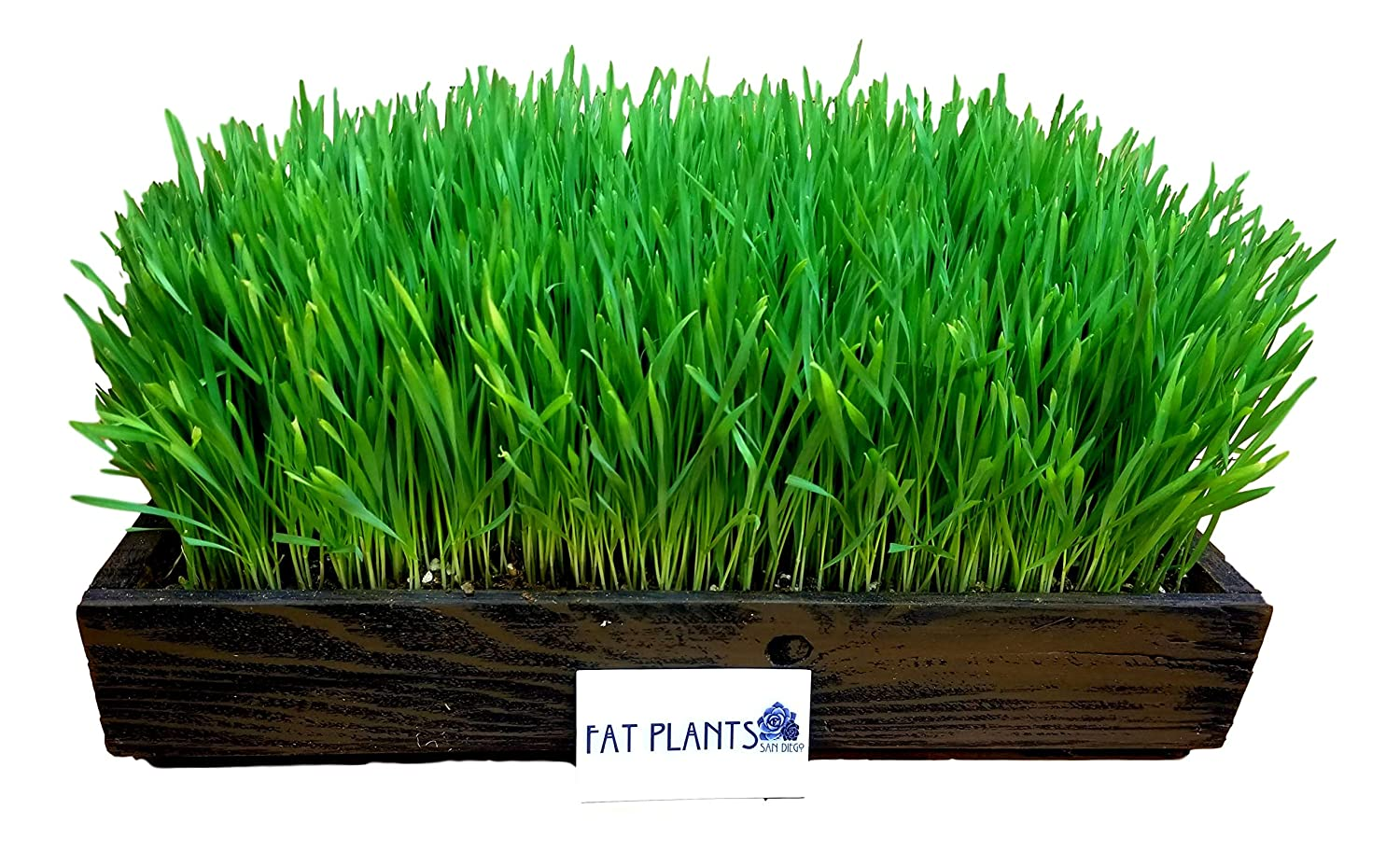 FATPLANTS Complete Organic Wheatgrass Kit in Cedar Planter, Organic Soil, Seeds and Instructions Large, Wicker Brown