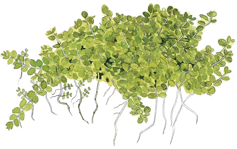 Tropica Hemianthus callitrichoides Cuba 1-2-grow Tissue culture in Vitro Live Aquarium Plant gamberetti Safe /& Lumaca free