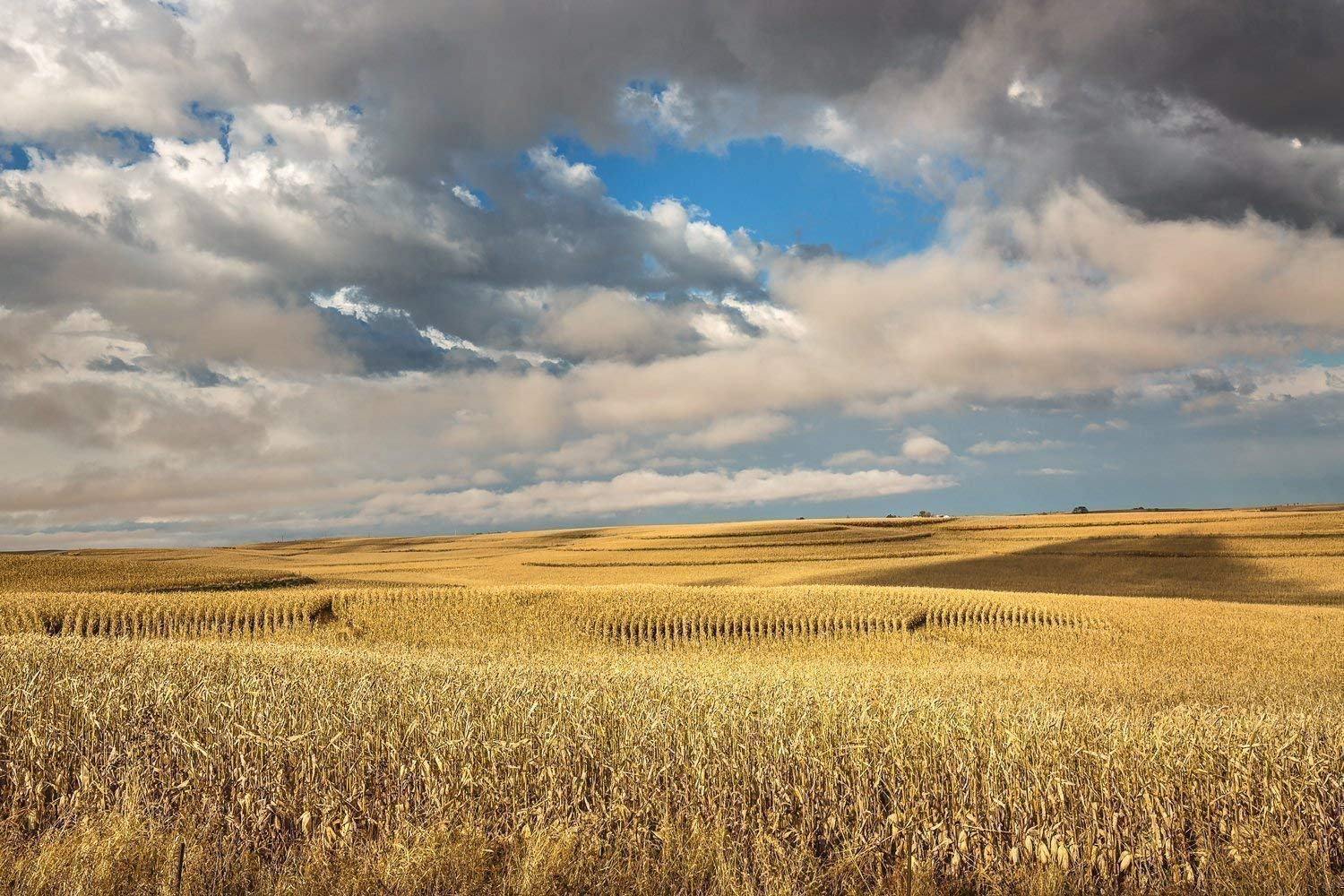 Iowa Landscape Photography Art Print - Picture of Terraced Corn Fields Under Dreamy Sky in Fall Rural Farm Decor Artwork for Home Decoration 5x7 to 30x45