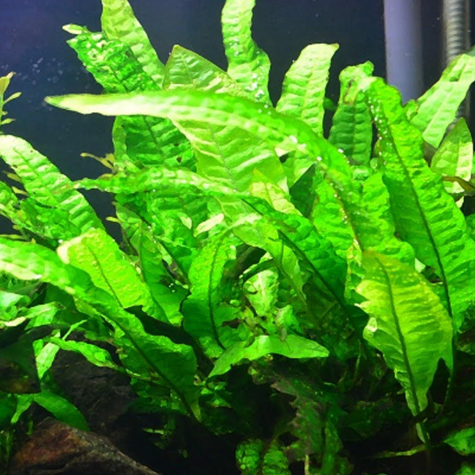 Mainam Java Fern Microsorum Pteropus Potted Freshwater - 3