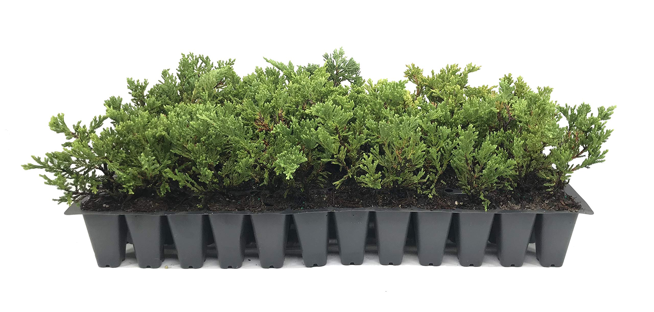 Prince of Wales Juniper - 10 Live Plants - Drought Tolerant Cold Hardy Evergreen Ground Cover by Florida Foliage