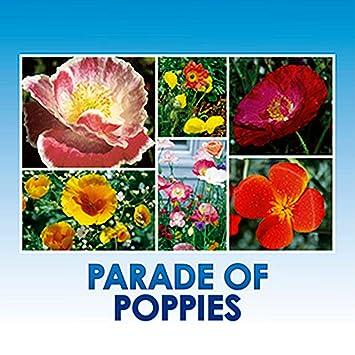Amazon Parade Of Poppy Wildflower Seeds Bulk 8 Bonus