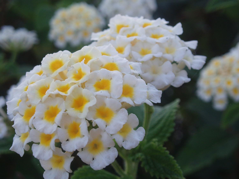 White Beauty Lantana Camara Shrub Flower 25 Exotic Flower Seedsfree