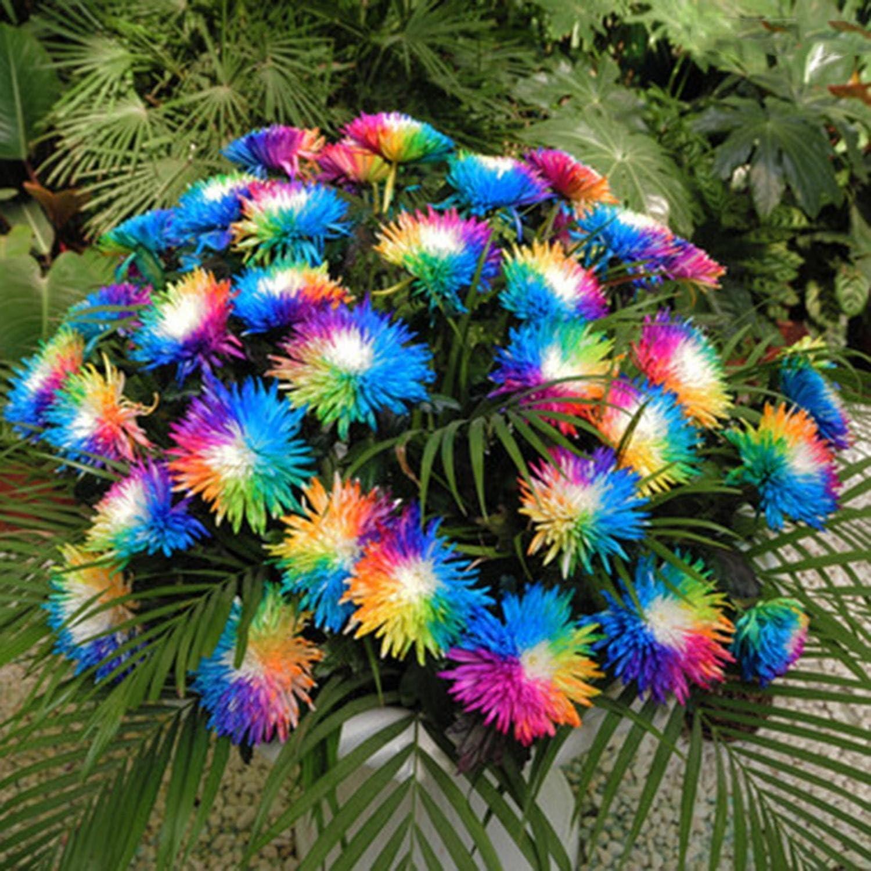 Ncient 20/50/100 Semillas de Margarita de Color Iris Bonsai de Jardín Semillas de Flores Plantas Raras para Balcón Interior y Exteriores