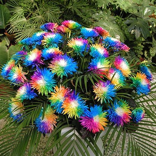 Ncient 20/50/100 Semillas de Margarita de Color Iris Bonsai de Jardín Semillas de Flores Plantas Raras para Balcón Interior y Exteriores: Amazon.es: Jardín
