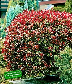 Etwas Neues genug BALDUR-Garten Immergrün Photinia-Hecke 'Red Robin', 1 Pflanze @OC_14