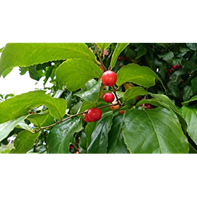 5 Seeds -Tropical Plant Rare! Indian Coffee Plum- Decorative Ornamental Plant Seed- Flacourtia Jangamas : Garden & Outdoor
