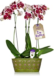 Hallmark Flowers Double Spike Pink Painted-Face Orchid Duo in 10-Inch Green Tin Container