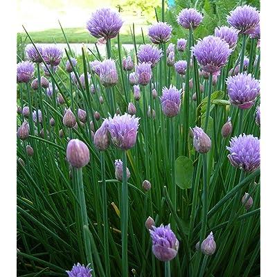Chives Seeds- Herb Seeds- 300+ Seeds : Garden & Outdoor