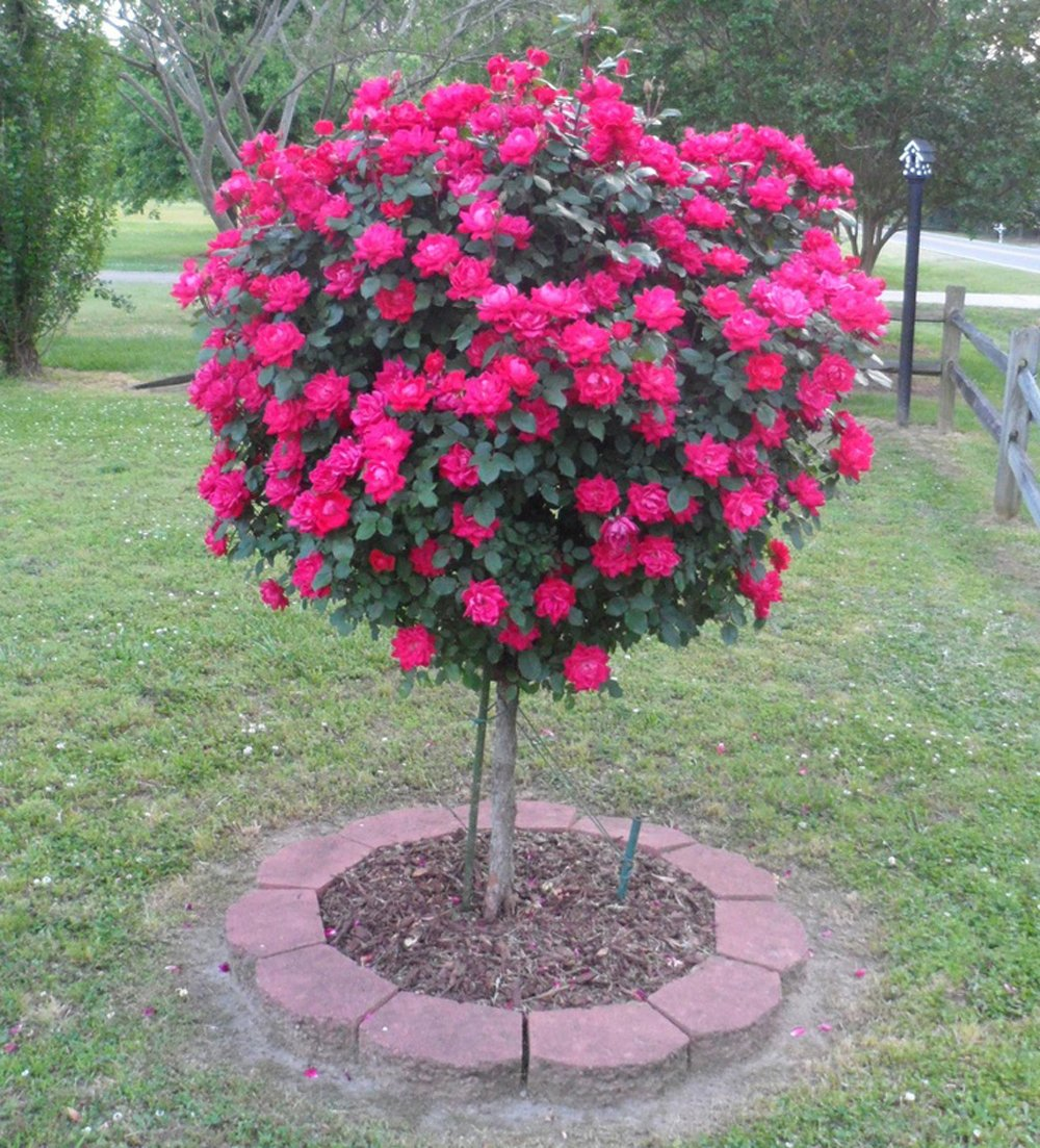 Knock Out Rose Trees- Double Knock Out Blooms on a Standard Tree- The Best Rose Tree to Grow in a Container by Brighter Blooms