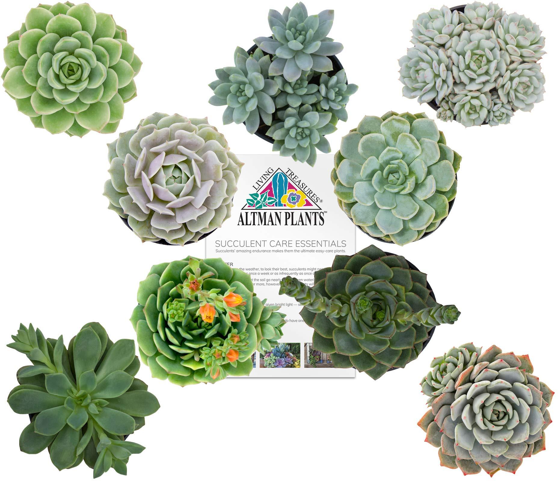 Altman Plants Assorted Live Succulents Flowering Rosette Collection Echeveria, sedeveria, perfect for party favors and arrangements, 3.5'', 9 Pack