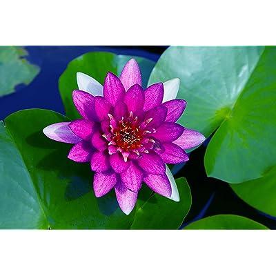 Van Zyverden - Premium Series - Water Lily Nero - Kit : Garden & Outdoor