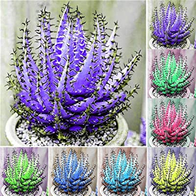 Caiuet 100Pcs Mixed Colorful Aloe Vera Seeds Succulent Plant Perennial Anti-Radiation Home Garden Seeds Bonsai Balcony Wonderful Gardening : Garden & Outdoor