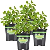 Bonnie Plants Spearmint Live Edible Aromatic Herb Plant - 4 Pack, Pet Friendly, Low Light, Part Shade, Great for Indoors