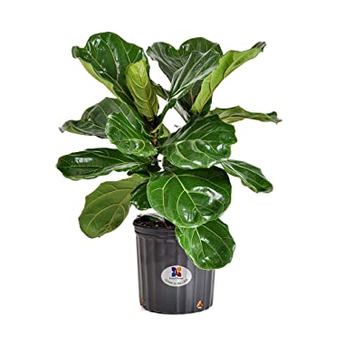 United Nursery Ficus Lyrata Tree Live One Stem Indoor Plant Fiddle-Leaf Fig 24-34  Shipping Size Fresh in Grower 9.25  Pot from Our Florida Farm
