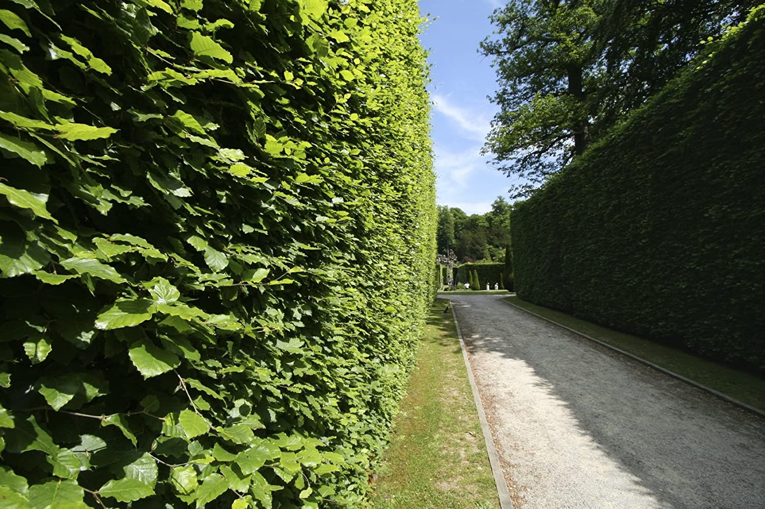 5 Green Beech 5-6ft Instant Hedging Trees,Strong 4 Year Old Feathered Plants 3fatpigs/®