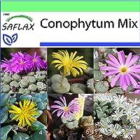 SAFLAX - Garden to Go - Conophytum Mix - 40 semillas - Con macetero de barro, platillo, sustrato para cultivo y…
