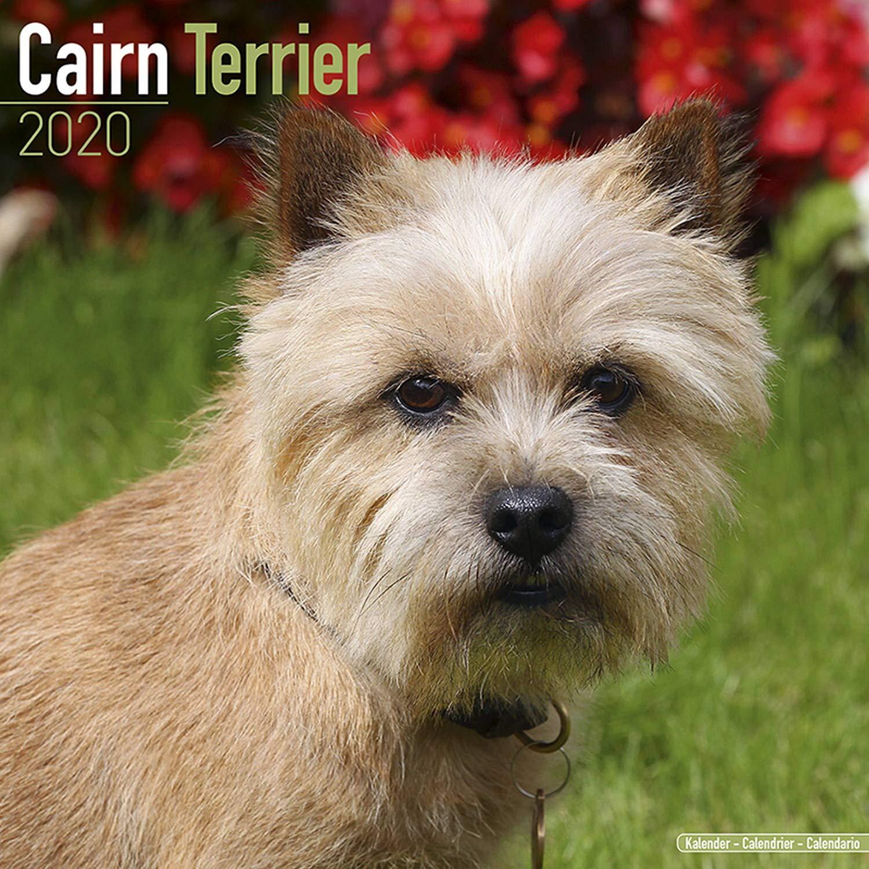 Cairn Terrier Calendar Dog Breed Calendars 2019 2020 Wall Calendars 16 Month By Avonside Multilingual Edition Megacalendars 9781785805837 Amazon Com Books
