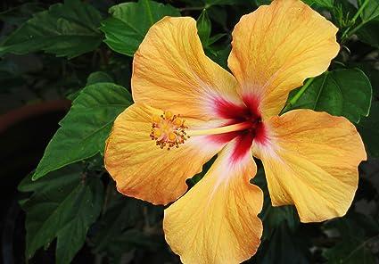 Nelesa Gardeningâƒââ Live Yellow Hibiscus Dwarf Flower Plant