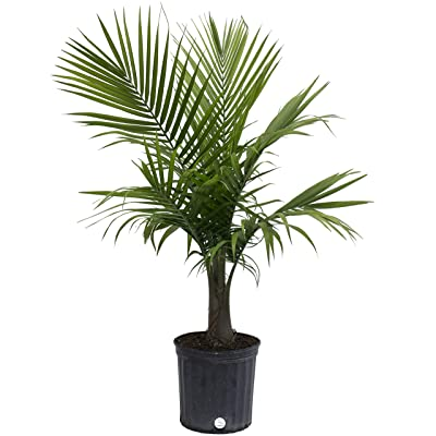 Costa Farms Majesty Palm Live Indoor Plant 3 to 4-Feet Tall, 3-Foot : Garden & Outdoor
