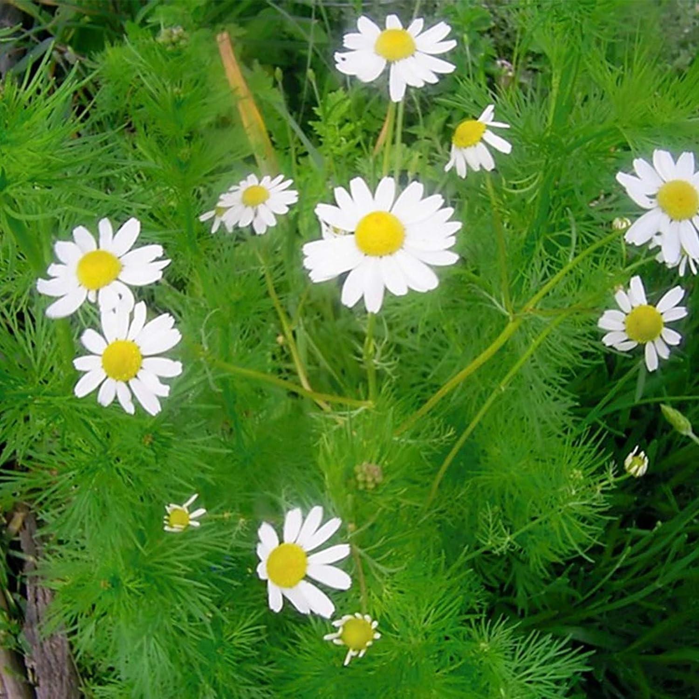 German Chamomile Herb Garden Seeds - 1 Lb Bulk - Non-GMO, Heirloom Herbal Gardening & Microgreens - Matricaria recutita