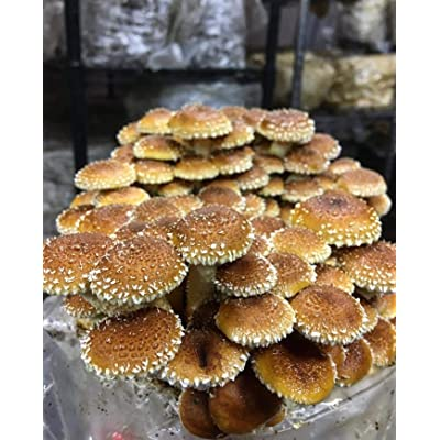 1 LB of Chestnut Mushroom Spawn Mycelium to Grow Gourmet and Medicinal Mushrooms at Home or commercially - Use to Grow on Straw or Sawdust Blocks - G1 or G2 Spawn : Garden & Outdoor