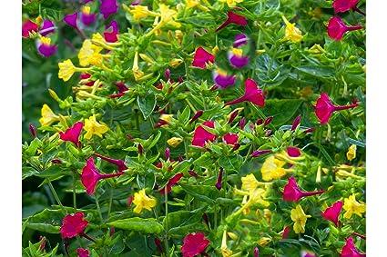 Amazon Serendipitys 4 Oclock Rainbow Mix 30 Seeds Mirabilis