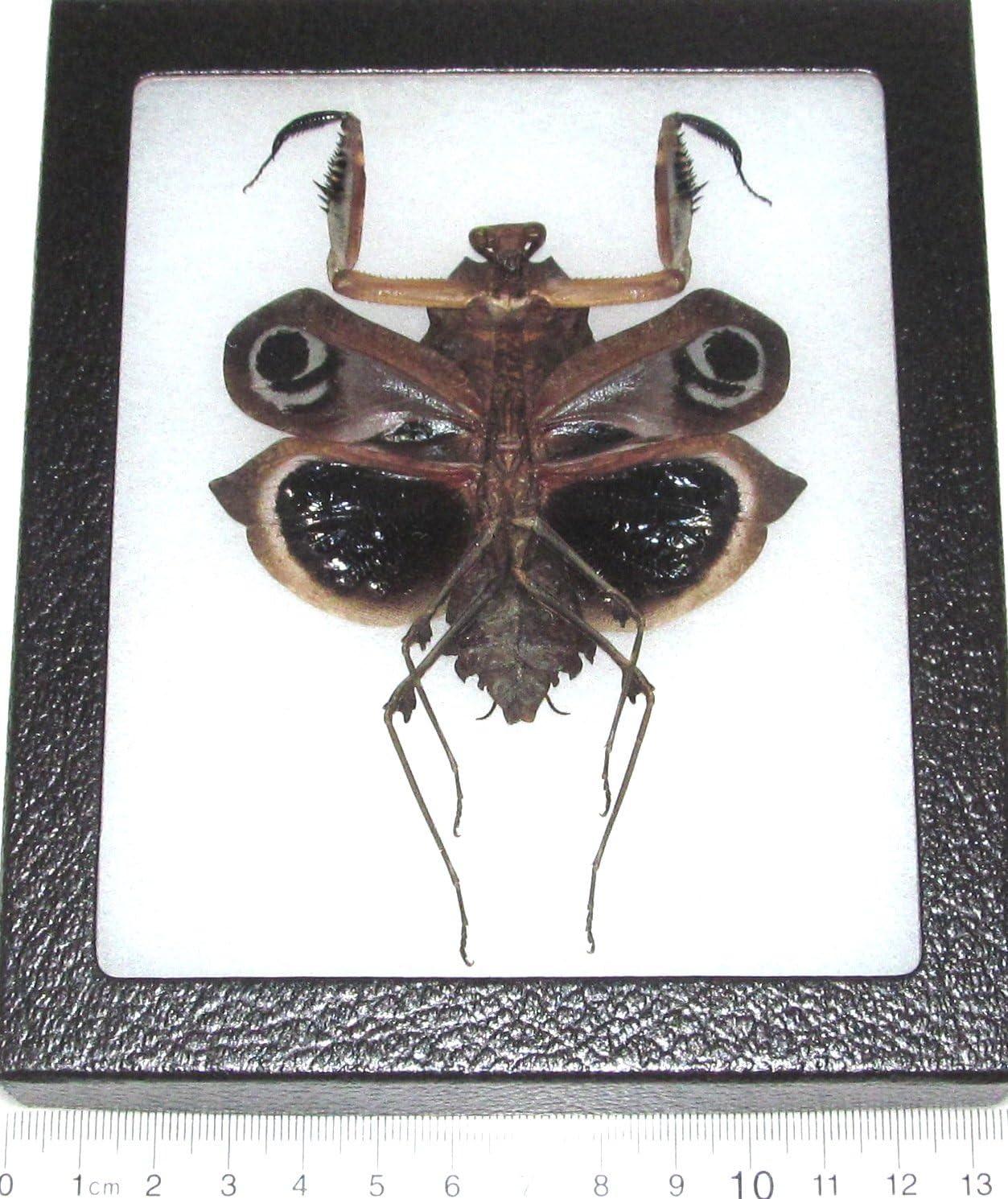 Real Framed Praying Mantis Deroplatys Dessicata Black Death Mantis Female Dark V