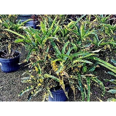 Codiaeum variegatum 'Eleanor Roosevelt', Croton - 7 Gallon Live Plant : Garden & Outdoor