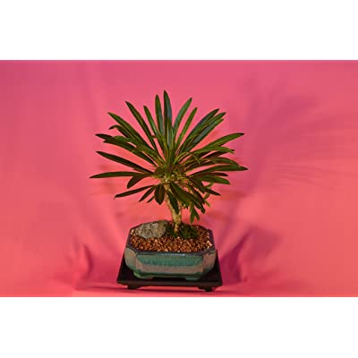 Indoor Bonsai, MADAGASCAR PALM, 6 Years Old, Flowers, Broom Style.: Garden & Outdoor