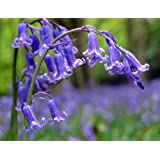 50 x Bluebell Bulbs - Hyacinthoides Non Scripta - Grown from Cultivated Stock in Lincolnshire - Hardy Bulbs - FREE UK P & P