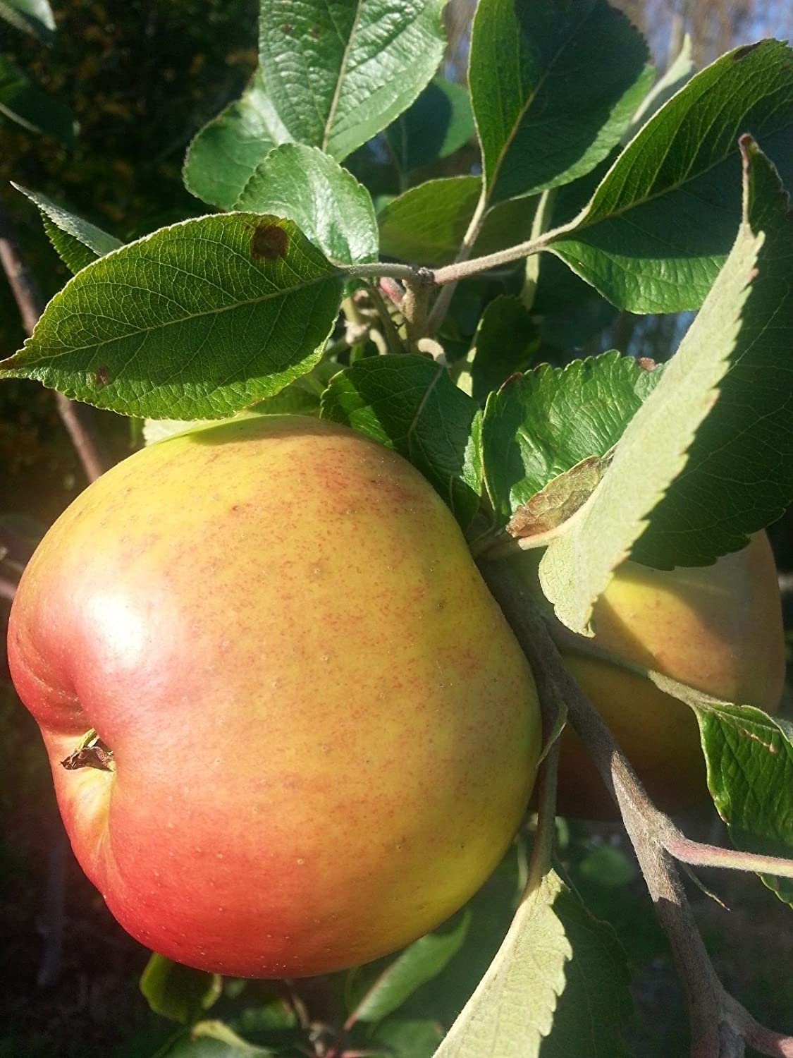 Bramley S Seedling Apple Tree 4 5ft In A 6l Pot Ready To Fruit The Most Popular Cooker 3fatpigs Amazon Co Uk Garden Outdoors