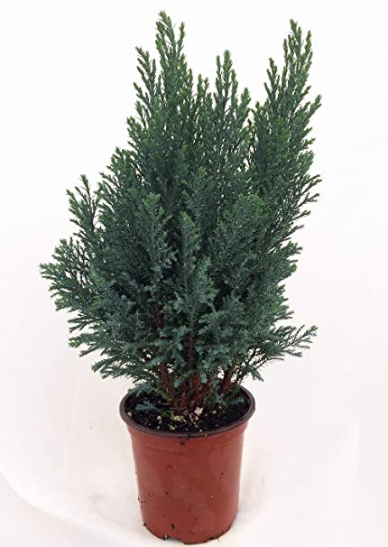 blue european cypress christmas tree chamaecyparis indoorsout 4 - Cypress Christmas Tree