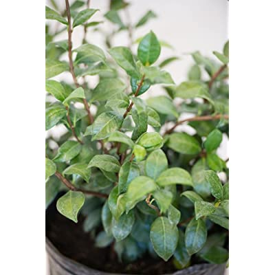Confederate Jasmine, Trachelospermum Jasminoides (Excludes: AZ, CA), 3 Gallon : Garden & Outdoor