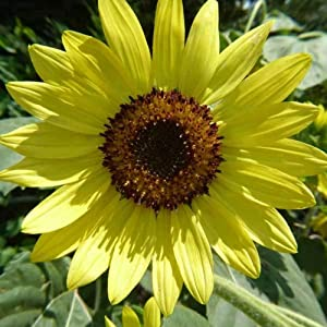 Skyscraper Sunflower Seeds - 7 g ~70 Seeds - Heirloom, Open Pollinated, Non-GMO - Sun Flower Gardening Seeds - Giant