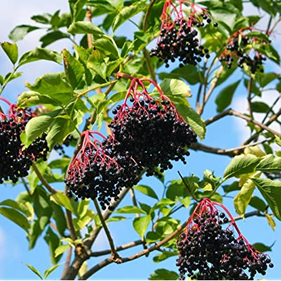 Earthcare Seeds American Black Elderberry 50 Seeds (Sambucus Canadensis) No GMO, Heirloom : Garden & Outdoor