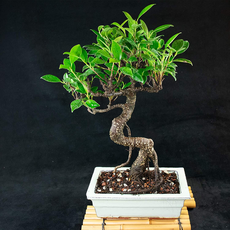 Tiger Bark # 5642 Taiwanese Ficus Shohin Bonsai Tree