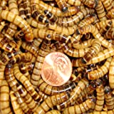 250ct Live Superworms, Feed Reptile, Birds, Fishing Best Bait
