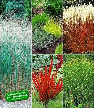 Baldur Garten Winterhartes Gräserbeet 9 Pflanzen Ziergras Red Baron