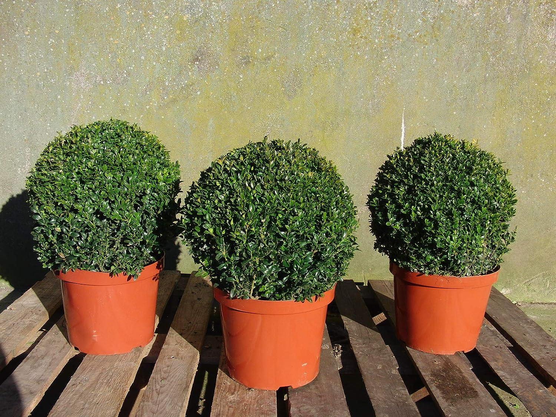 2 St/ück Kugel Buchsbaum Buxus Sempervirens /Ø 30-35 cm Buchs rund winterhart
