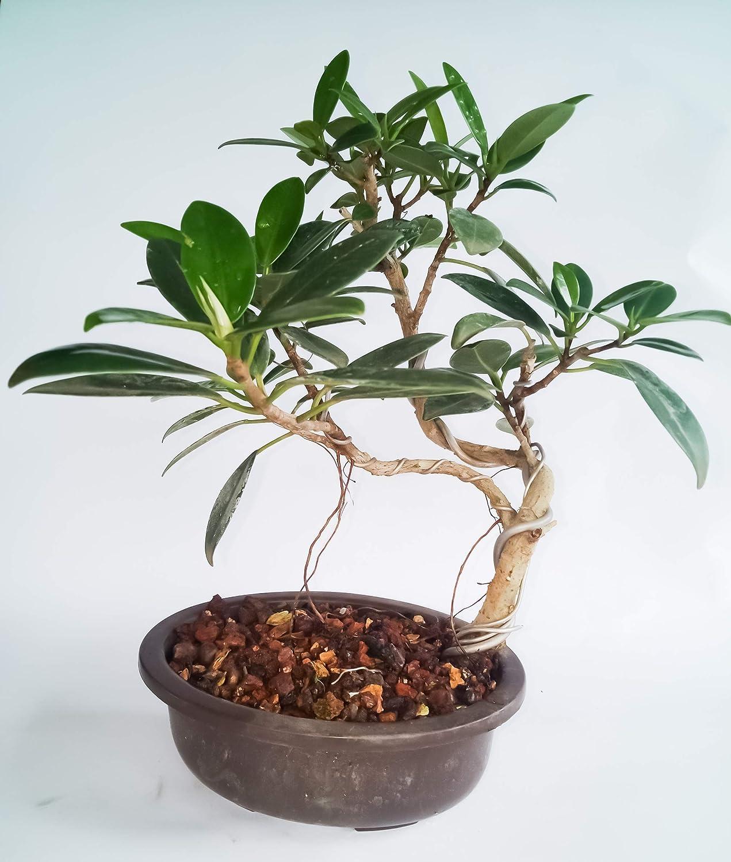 Bonsai Tree Long Island Bonsai Tree