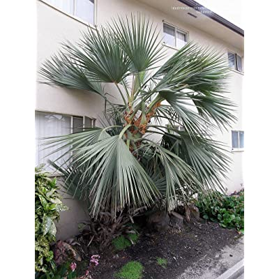 Silver Mazari Palm 10 Seeds - Nannorrhops ritchienana : Fruit Plants : Garden & Outdoor