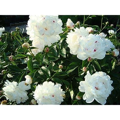 1 Festiva Maxima Peony (White/pink) Bush Perennial~Spring Planting : Garden & Outdoor