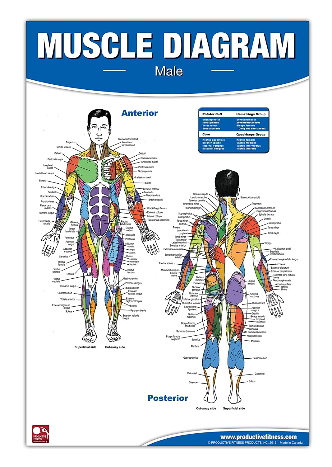Amazon Male Muscle Diagram Laminated Poster Chart Sports
